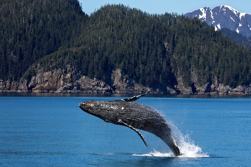 humpback-whale-1984341_960_720